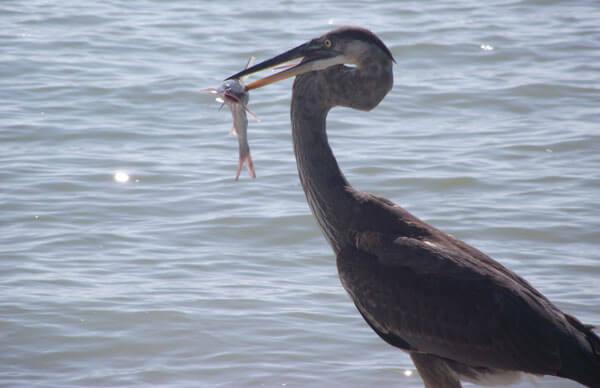 Blue Heron Fishing Sanibel
